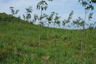 Kautschukpflanzen als nachhaltige Vermögensanlage